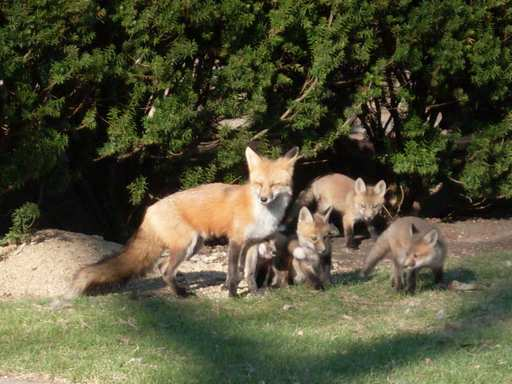 A watchful mother looks after her month-old red fox kits as they play in the front yard of an Arlington Heights home. The den first appeared Friday near Hersey High School.