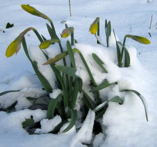 I couldn't resist taking one shot before I drove to St. Louis. All my beautiful spring flowers are covered in snow!