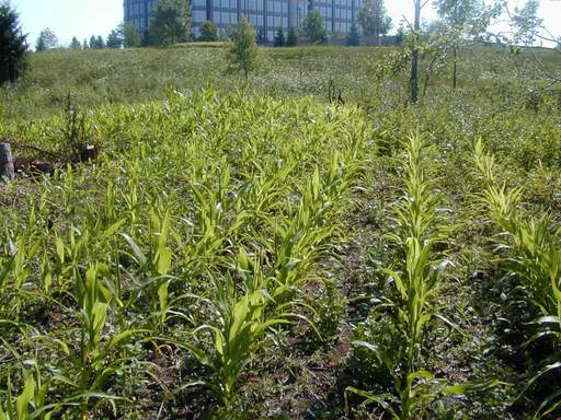 Growing corn is one method used to improve the ecosystem at the Whippoorwill Farm restoration project in Mettawa.