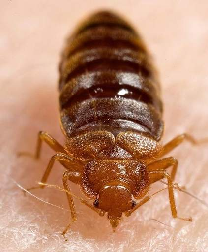 Bedbugs, such as in this photo, do not spread diseases, but experts are working to find a solution to eliminate the pesky, bloodsucking bugs, which are making a comeback due to increased foreign travel, pesticide bans and resistance.