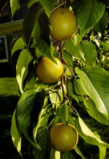 Korean Giant pears grow in Tom Anderson's Palatine home garden.