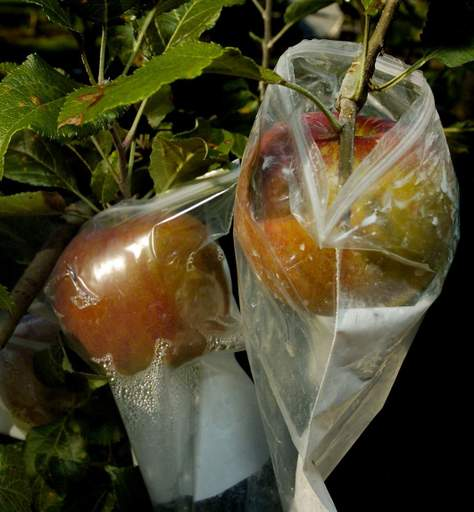 Apples protected by plastic baggies from insects and birds in Tom Anderson's Palatine home garden.