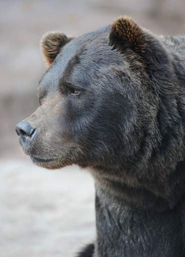 Grizzly bears and polar bears will alternate living in the Great Bear Wilderness exhibit at Brookfield Zoo.