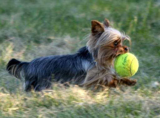 Daniel Chojnacki's Yorkie Maja fetches a tennis ball during a romp at the Busse Lake Boating Center on Monday evening.