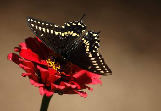 A black swallowtail butterfly perches on a flower not far from the butterfly house at Peck Farm Park in Geneva Tuesday.