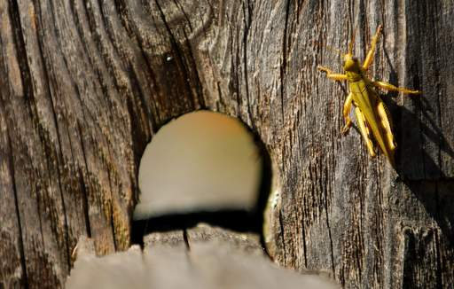 A grasshopper sits on a fence post at Peck Farm Park in Geneva Tuesday.