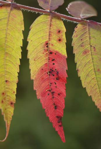 Sumac has started to turn to shades of red at Ferson Creek Fen in St. Charles.