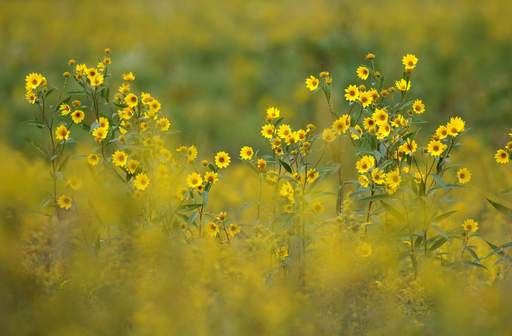 Wild flowers bloom amongst a field of goldenrod in Wasco.