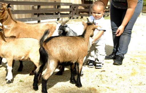 15-month-old Jeremias Marcial of Elgin greets the new billy goats with treats at the soft opening of the new Azoosment Park in the former Santa's Village Thursday afternoon in East Dundee.