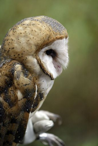 Fermi National Accelerator Laboratory in Batavia is taking in some baby barn owls, in an effort to increase the population of the Illinois endangered species. DuPage County Forest Preserve District ecologist Dan Thompson releases one Friday.